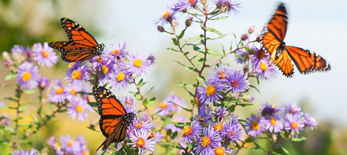 Butterfly Garden Design and Planting Tips